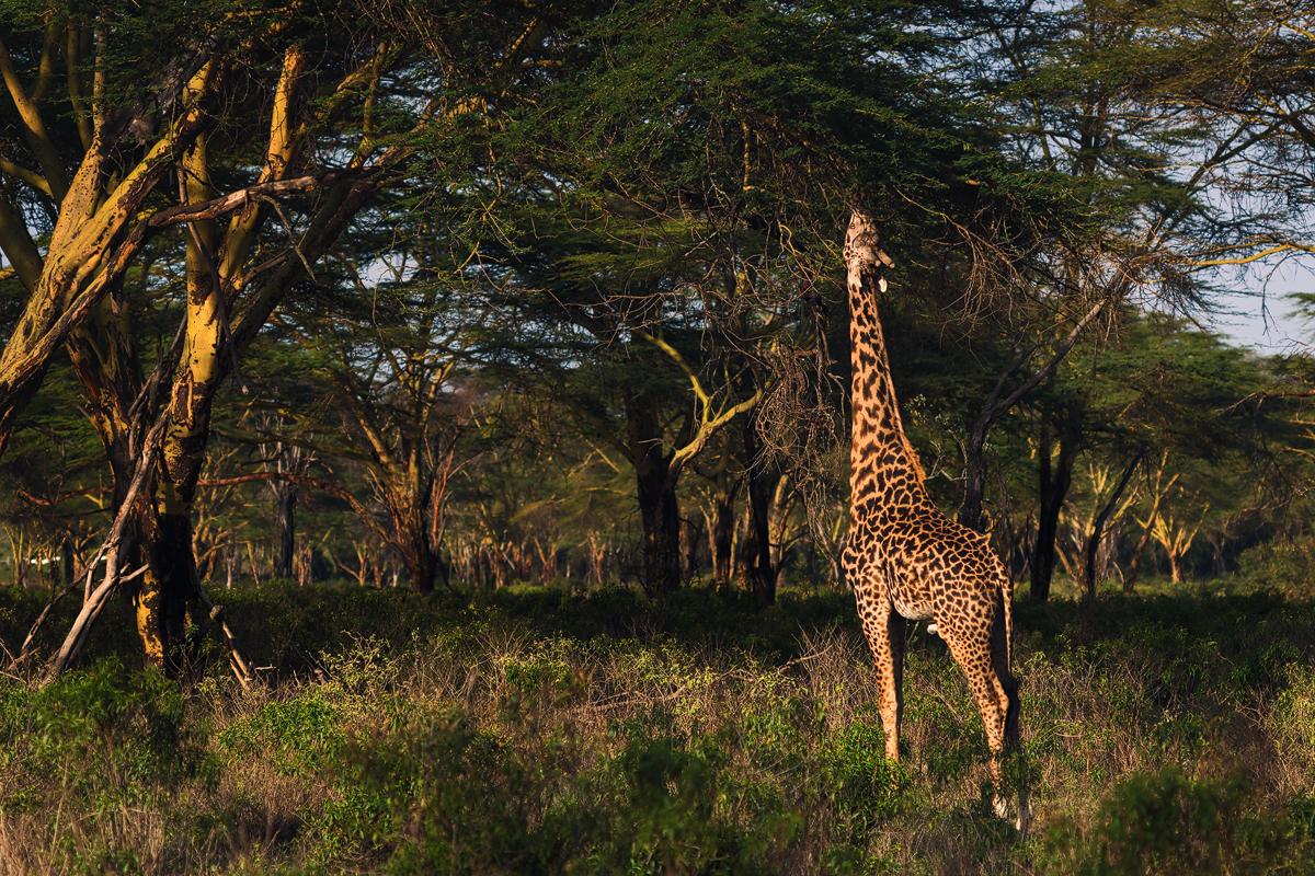 A Giraffe having a meal