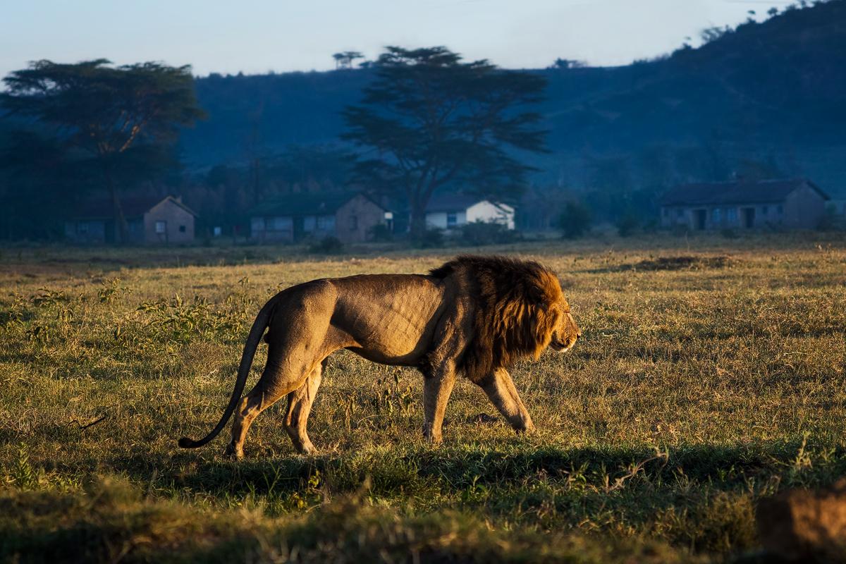 Lion walking in the Sun