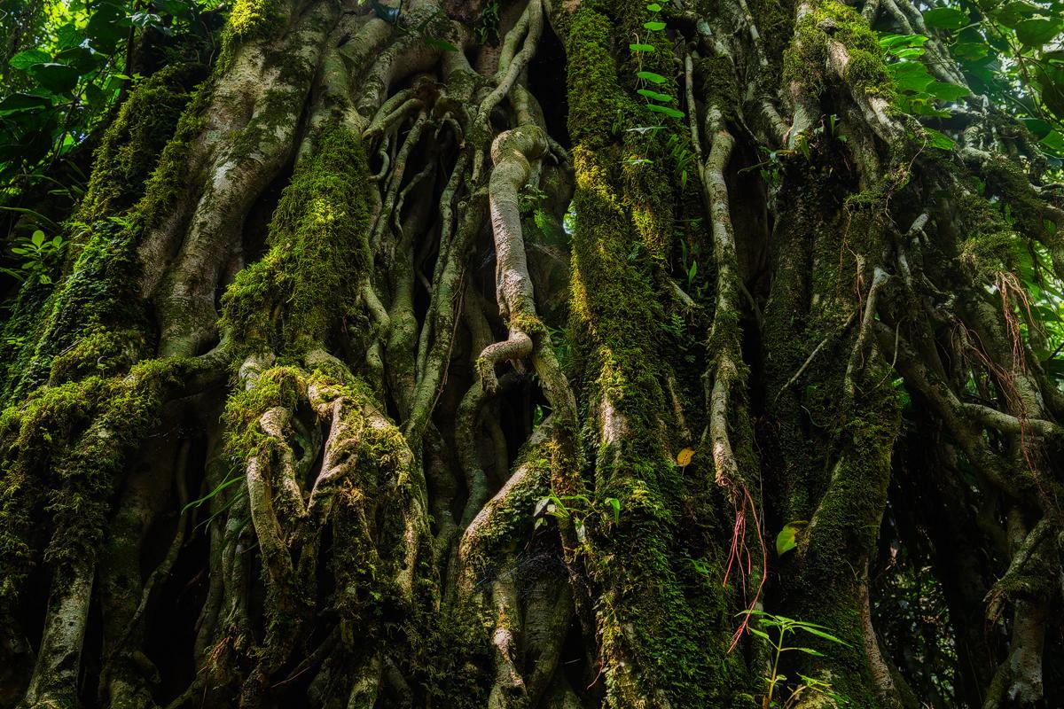 Strangler Fig tree Kakamega