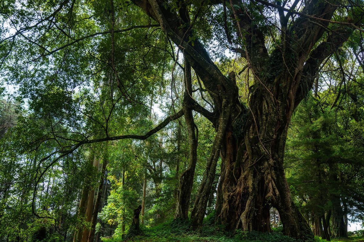 Tree in Kericho
