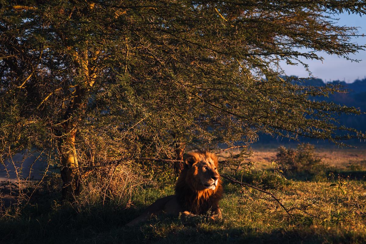 Lion in it's natural habitat