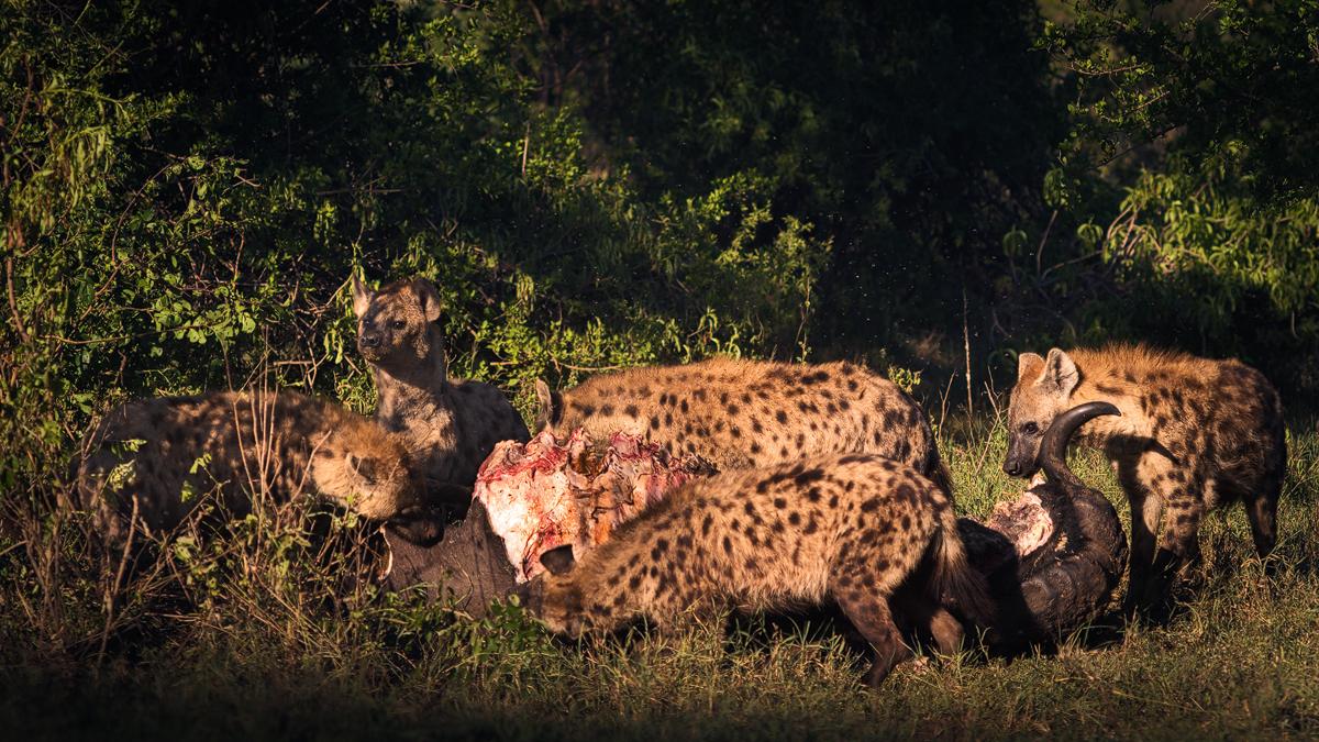 Hyaenas feasting on a Bull