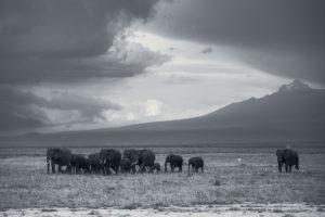 Herd Kilimanjaro Kenya